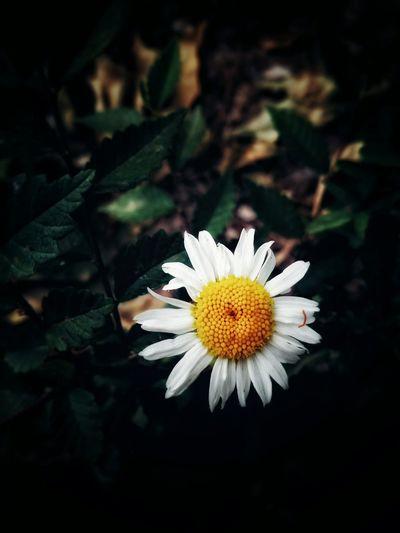 Flowers Light And Shadow Nature Macro Enjoying Life White Flower Yellow Flower Head