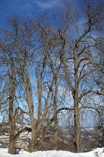 high, bare trees in the snow Bare Branches Langhe Piedmont Italy Bare Tree Beauty In Nature Blue Blue Sky Branch Cold Temperature Day Frozen Landscape Nature No People Outdoors Scenics Sky Snow Snow Covered Tranquility Tree Weather Winter Winter Beauty  Winter Trees