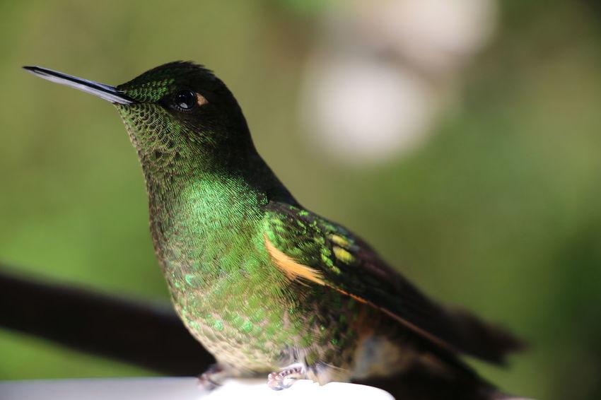 Kolibri in Cocora Animal Themes Animal Wildlife Animals In The Wild Beauty In Nature Bird Close-up Day Green Bird Kolibri Nature No People One Animal Outdoors