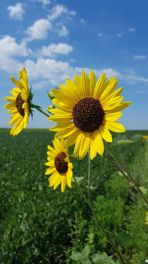 Sunflower Nature Flower Yellow Plant Growth Beauty In Nature Sunflower Outdoors No People Day Close-up Pollen Flower Head Agriculture Serbia Serbianature Serbia