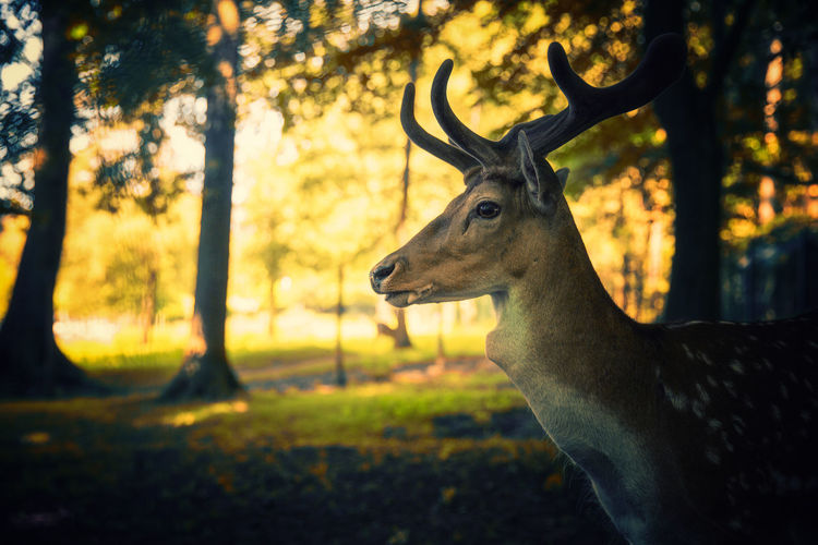 Deer Animals In The Wild Light Profile Sunlight Wood Animal Animal Head  Animal Photography Animal Themes Animal Wildlife Animals Animals In The Wild Antler Deer First Eyeem Photo Forest Land Mammal Nature Plant Portrait Stag Sun Sunset Tree EyeEmNewHere
