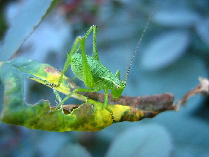Macro shot of green speckled bush cricket on leaf