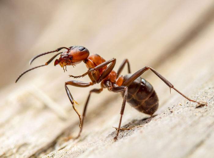 Closeup of an ant in attack position Formica Rufa Worker Aggressive Ant Attack Attack Position Close-up Defend Horse Ant Insect Macro Red Wood Ant Southern Wood Ant