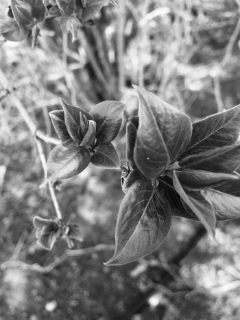 Nature Plant Close-up Growth No People Outdoors Beauty In Nature Freshness Day Leaves Nature Walk Photography Blackandwhite Photography