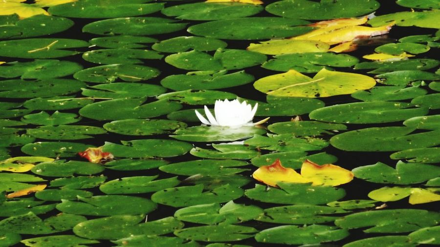 Waterlily Pads Waterlilyphotography White Waterlily Lilypads Waterlily Waterflower Maine Vibrant Colors Bright Colors Flowercloseup
