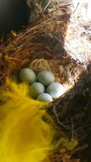 Bird Eggs Eggs In The Nest Bird Nest Blue Eggs