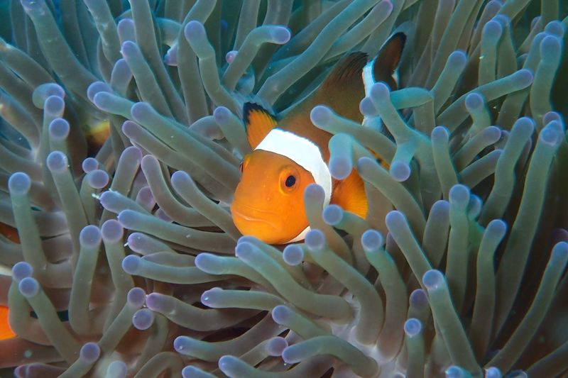 Close-up of clown fish in sea