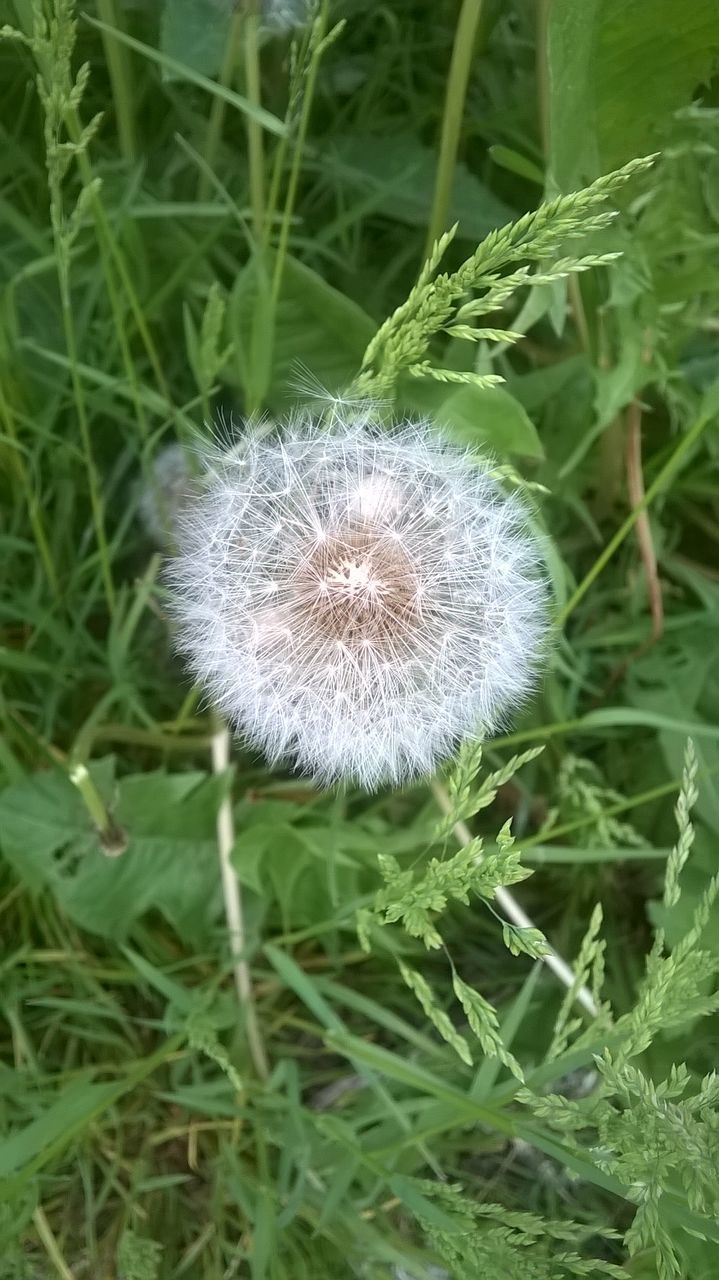 plant, growth, flower, fragility, flowering plant, vulnerability, beauty in nature, dandelion, freshness, close-up, nature, no people, field, land, inflorescence, day, green color, flower head, softness, focus on foreground, outdoors, dandelion seed