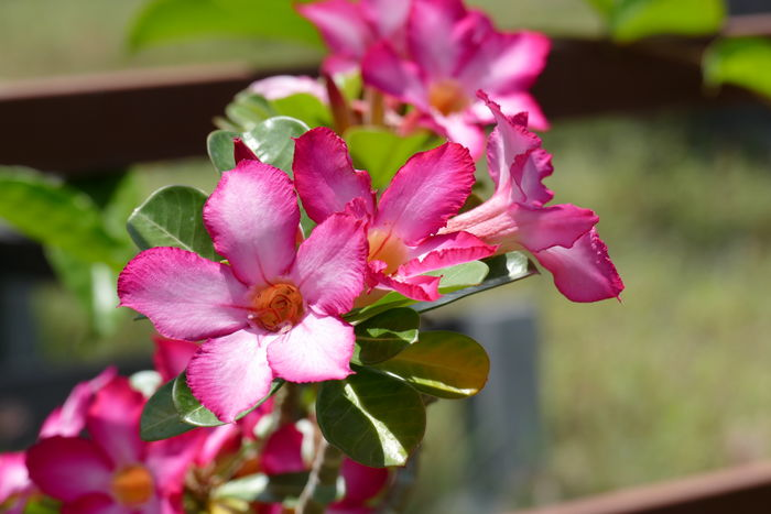 Adenium Obesum Apocynaceae Family Beauty In Nature Blooming Close-up Day Desert Rose Flower Flower Flower Head Focus On Foreground Fragility Freshness Growth Nature No People Outdoors Petal Pink Color Plant Wüstenrose