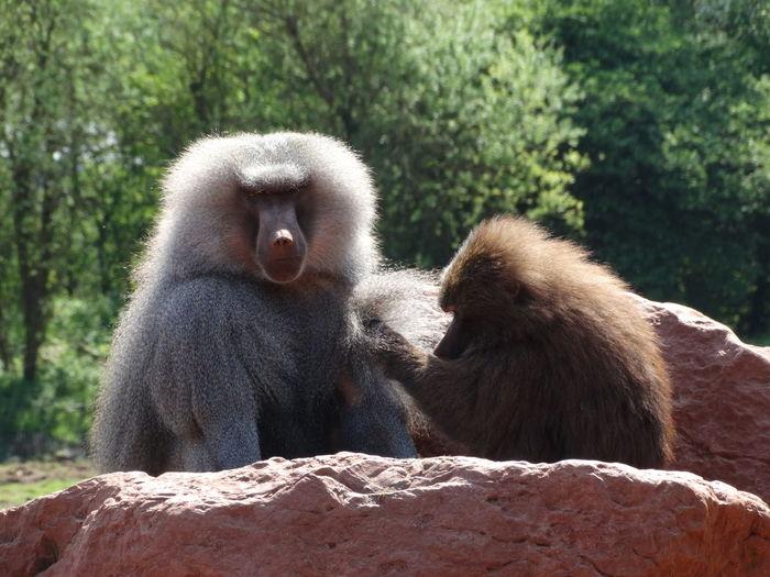Baboons. 2 Baboons Animal Animal Photography Animal Themes Animals Baboon Baboons Cute Hairy  Monkey Photo Photography Zoo Zoo Animals  Zoology