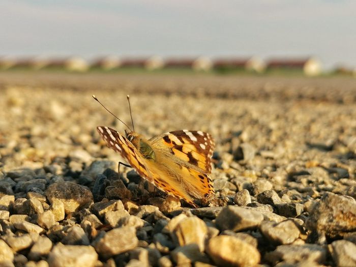 Close-up of butterfly on pebbles