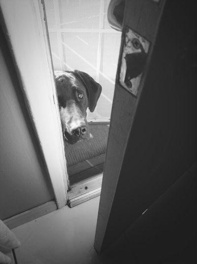 Love my dog Kobe. His a cute pitbull bloodhound mix.