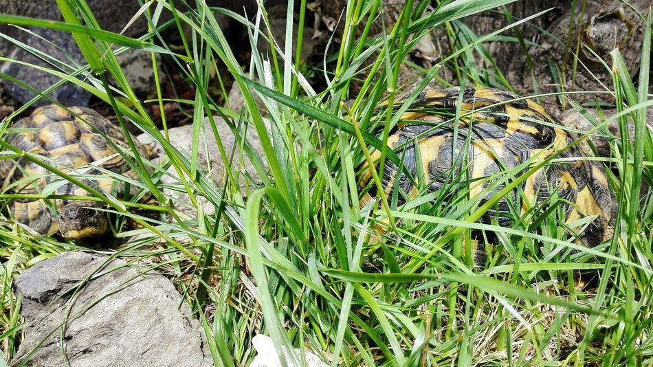 Turtle Turtles Turtle 🐢 Turtle Love Turtleturtle Nature Nature Photography Nature_collection Animal Animal Themes Animal_collection Reptile Reptiles Reptile World Testudo Testudo Graeca First Eyeem Photo