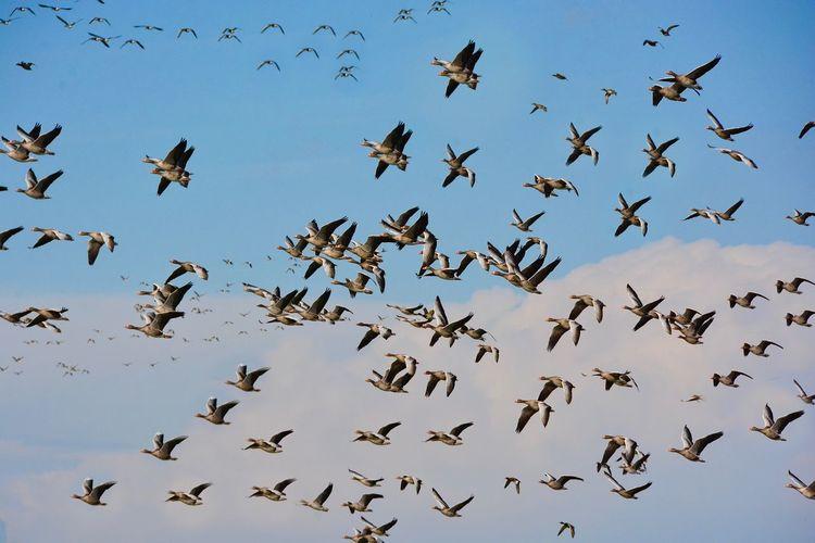 Flock Of Geese Flying Against Sky