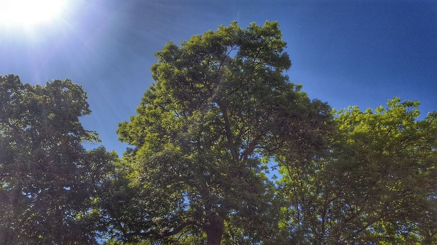 Low Angle View Tree Sky Nature Growth Outdoors Sun Blue Day No People Beauty In Nature Clear Sky