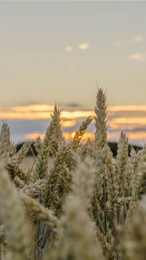 Agriculture Beauty In Nature Cereal Plant Close-up Coniferous Tree Crop  Farm Field Growth Land Landscape Nature No People Outdoors Plant Rural Scene Scenics - Nature Selective Focus Sky Stalk Sunset Tranquil Scene Tranquility