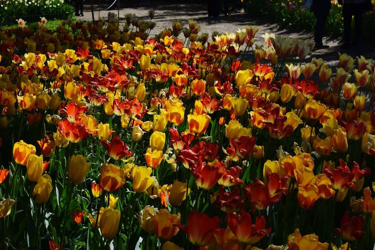 Flower Fragility Freshness Nature Beauty In Nature Growth Plant Abundance Petal High Angle View Multi Colored Flower Head No People Backgrounds Tulip Flowerbed Outdoors Blossom Full Frame Close-up