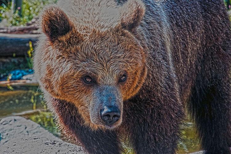 LOOK ME Bear Bear Mountain Beard Beardlife Beards Grizzley Bear Grizzlies Grizzly Grizzly Bear Grizzly Island Grizzly Peak Grizzlybear Grizzlygang Grizzlysnacks Orso Orsone Orsova Orsoy