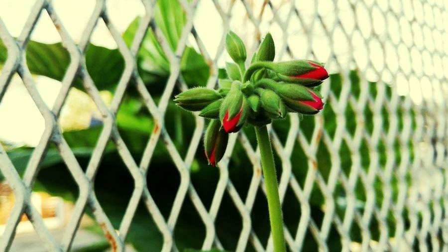 Destacándose Malvón Flower Head Flower Leaf Close-up Plant Green Color