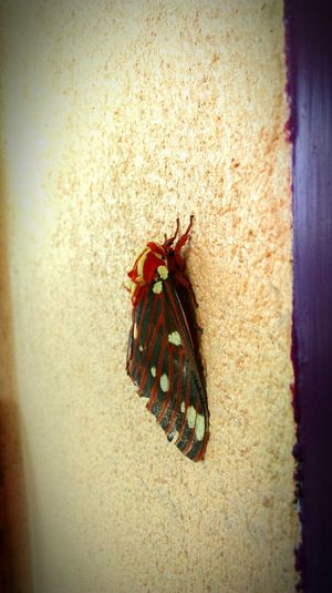 Nature On Your Doorstep Moth on the Wall