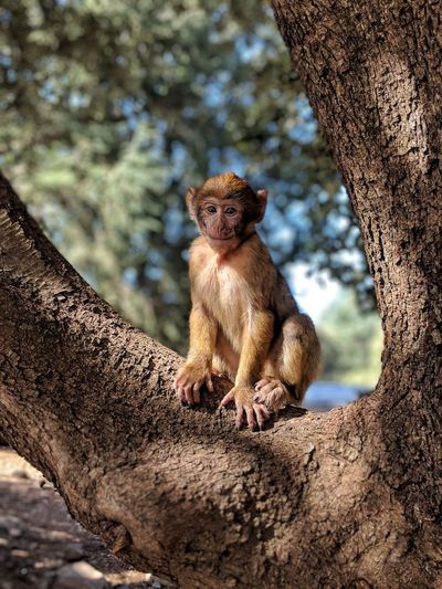 smile Monkey Ifrane Morocco #Africa #smile #portrait #mammal Tree Sitting Baboon Meerkat EyeEmNewHere