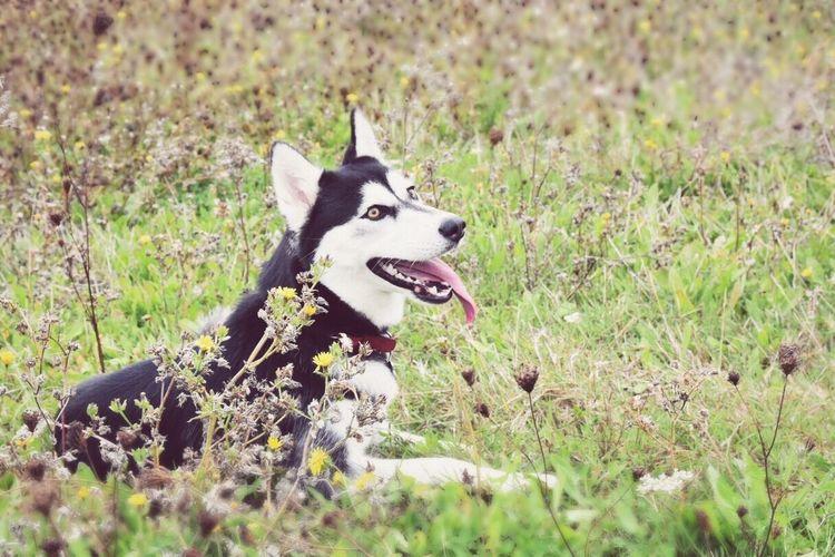 Husky Mila Siberian Husky Pets