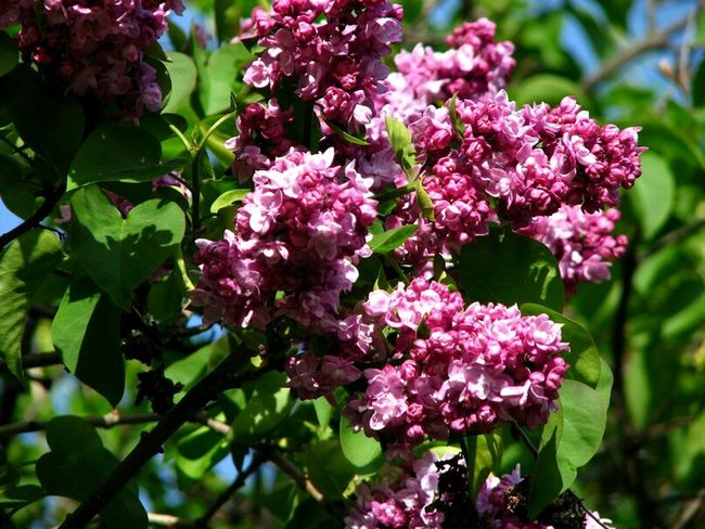 Flower Pink Color Purple Nature Plant Beauty In Nature No People Day Lilac Springtime Foto Photo Photographer Photographic Memory City Canon Canonphoto Photography Sky EyeEm Canonphoto Canon Photoday Photo Of The Day