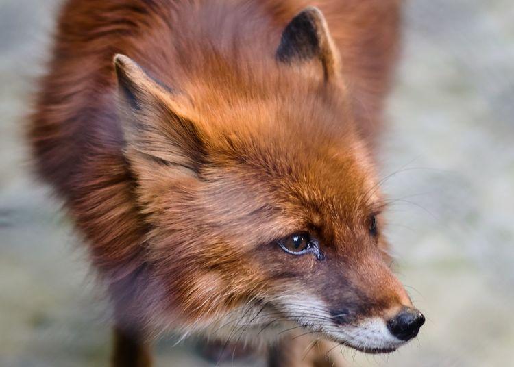 Fox One Animal Animal Themes Animal Mammal Animal Wildlife Close-up Domestic Animal Body Part Pets No People Animal Head  Portrait Fox Body Part