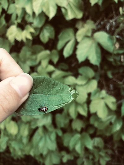 Close-up of hand holding small green leaves