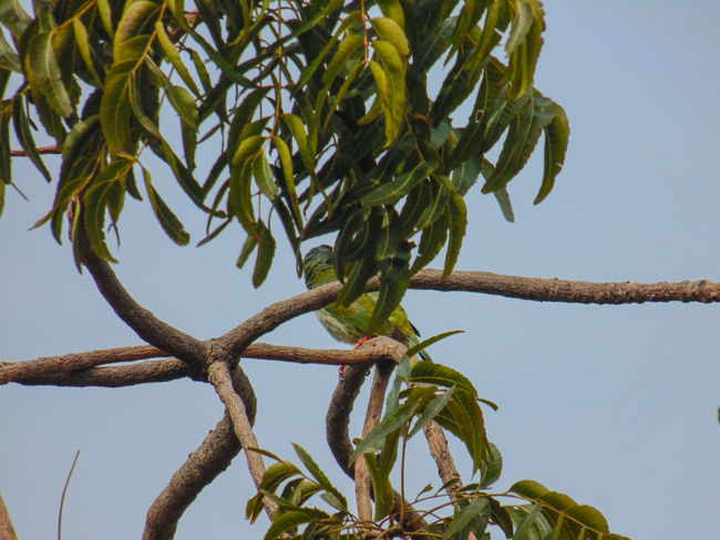 Tree Neen Treesky Growth Nature No People Clear Sky Low Angle View Tranquility Beauty In Nature Day Branch Outdoors Water Birdsofinstagram Birdstagram Bird Photography Green Color Beauty In Nature Coppersmith Barbet Coppersmith Barbet,bird,india,BARBET