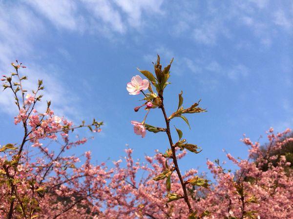 河津桜 桜 IPhone