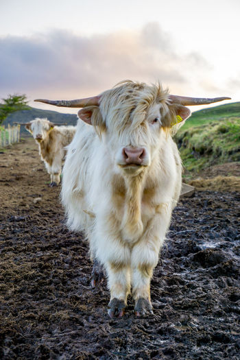 Portrait of highland cow standing on muddy field