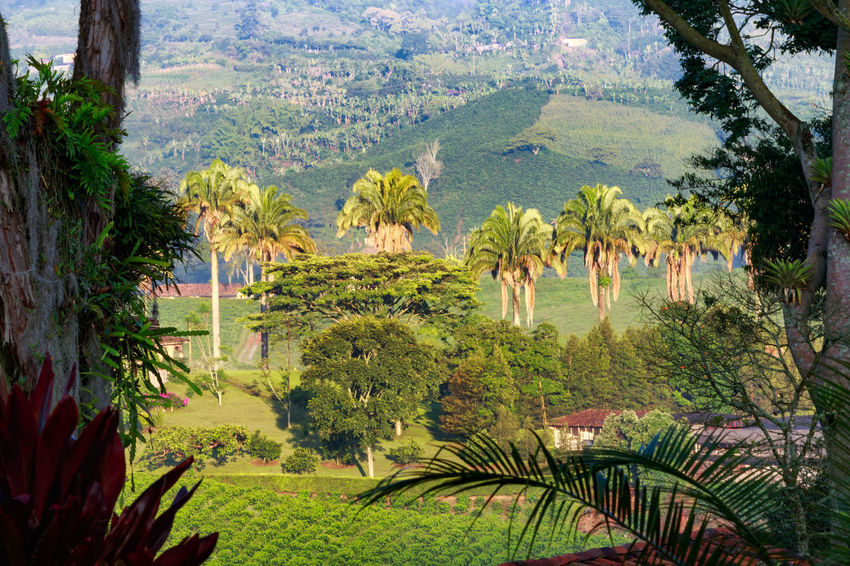 Early morning light illuminates palm trees at a coffee plantation near Manizales, Colombia. Andes Caffeine Coffee Colombia Farm Latin Manizales Nature Plant South Travel America Arabica Bean Caldas Chinchina Colombian  Drink Landscape Mountain Organic Plantation Robusta Triangle Tropical