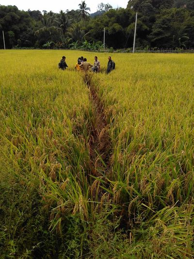 Paddy Fields Crop  Yellow People Farmer Working Rainy Crop  Ubinan BPS