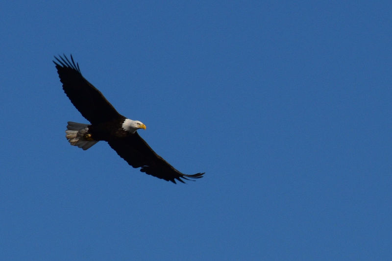 On eagle's wings catching some air Eagle Animal Themes Animal Wildlife Animals In The Wild Bald Eagle Beauty In Nature Bird Bird Of Prey Blue Clear Sky Copy Space Day Eagle - Bird Flying Low Angle View Mid-air Nature No People One Animal Outdoors Sky Spread Wings