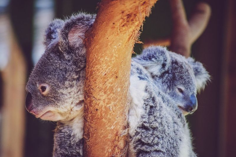 Close-up of koalas relaxing on tree branch