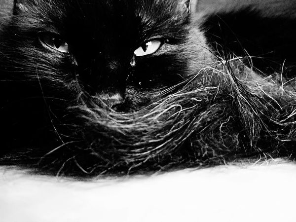 Giolletta 😻 One Animal Yellow Eyes Black Cat Is Just So Beautiful. Black Cat Photography Black Cat Cats 🐱 I LOVE PHOTOGRAPHY Domestic Cat Cat♡ I Love My Cat I Love My Cat ❤ Animal 😻my Sweety Cat😻 One Cat 😻😻😻❤️ Cat Photography Beatiful Cat Black And White Collection  Black & White Photography