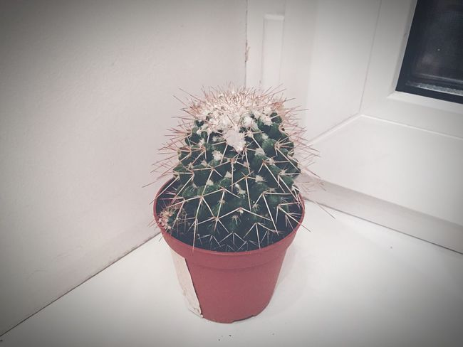 Potted Plant Indoors  Plant Flower Pot Table No People Growth Home Interior Cactus Flower Nature Day First Eyeem Photo Handmade For You