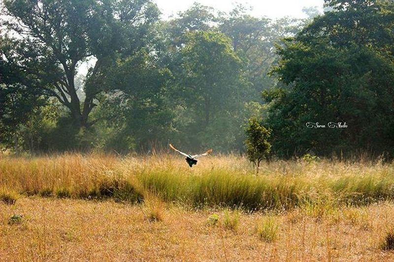 Forest Safari Peacock