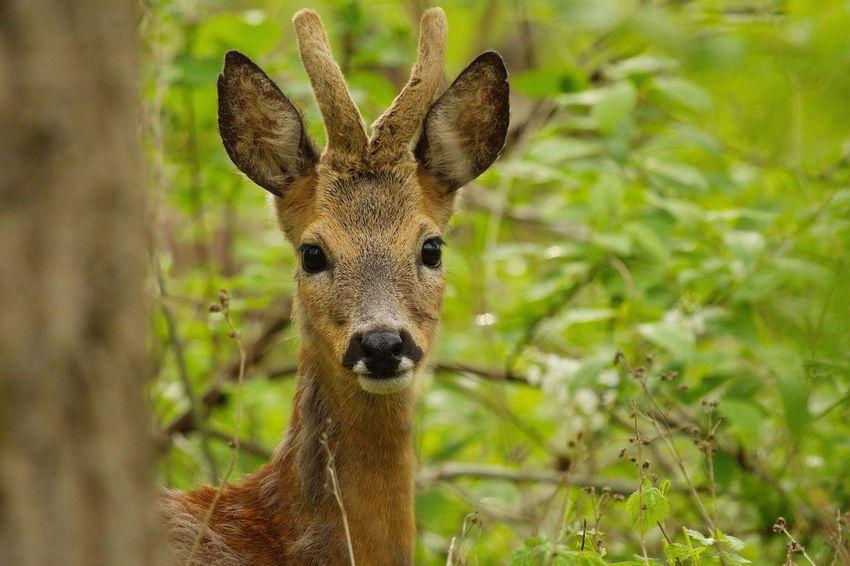 Animal Animal Themes Beauty In Nature Close-up Deer Portrait Ree Reebok Roe Buck Roe Deer Roebuck Wildlife