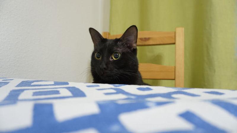Domestic Cat Pets Domestic Animals Animal Themes Mammal Close-up Cats Of EyeEm BLackCat Black Color One Animal