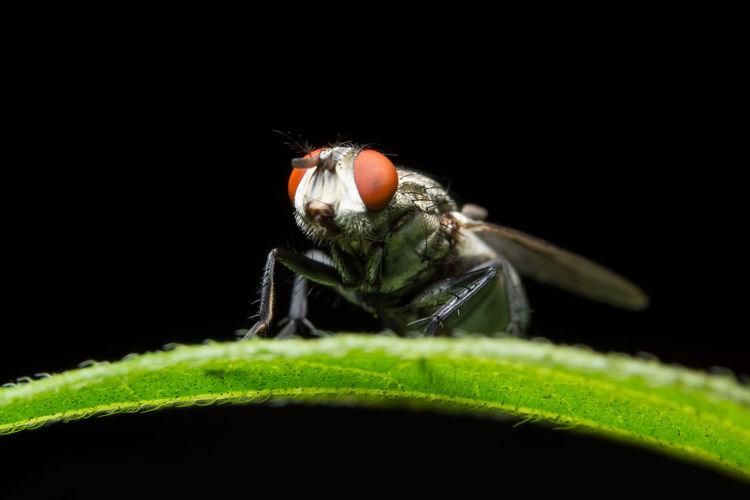 Close-Up Of Housefly On Leaf Against Black Background