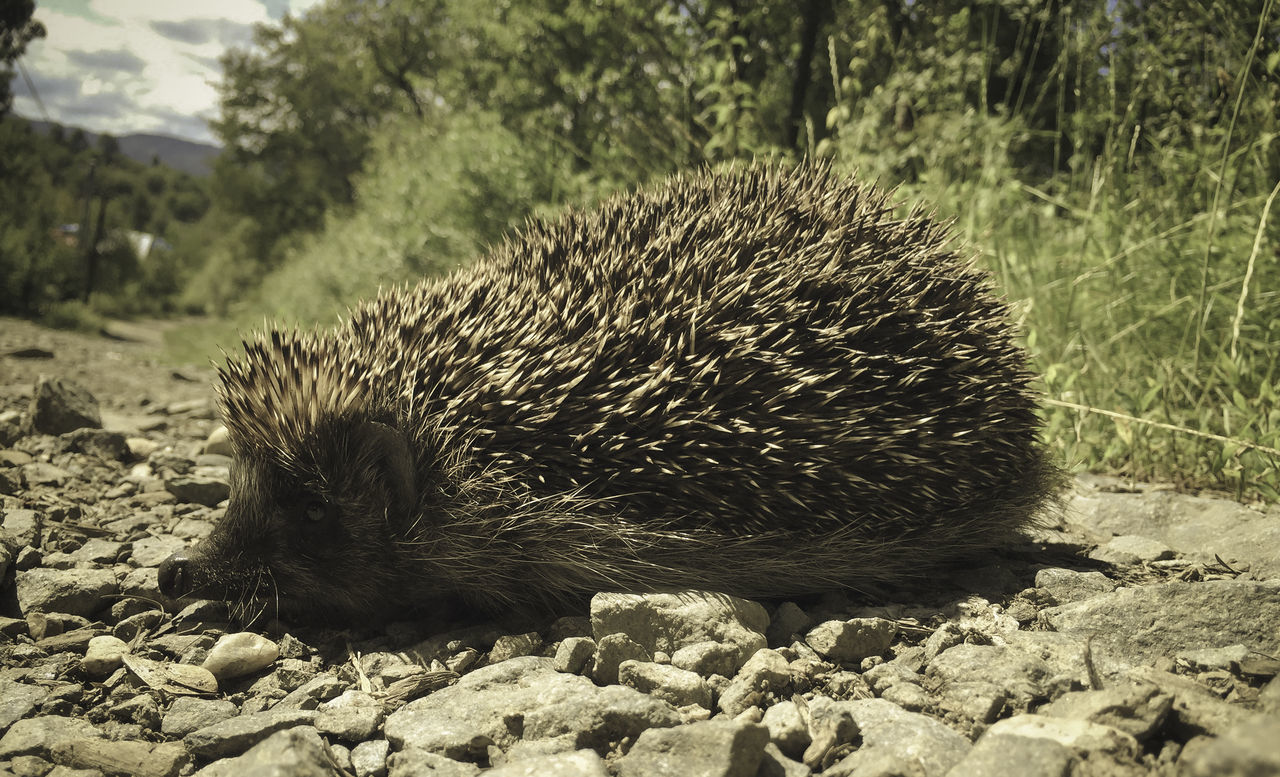 one animal, hedgehog, animals in the wild, animal themes, nature, mammal, field, animal wildlife, no people, outdoors, day, close-up