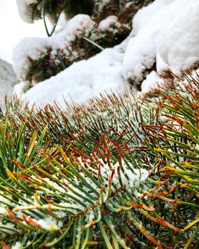 December Auskia Winter Nature Snow Cold Temperature Outdoors Day Green Color Tree Frozen Beauty In Nature