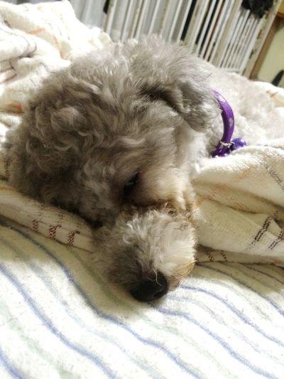 My Toypoodle Toypoodle Sweet♡ Ilovemydog Cute Pets Pets Corner Sleepydog Love