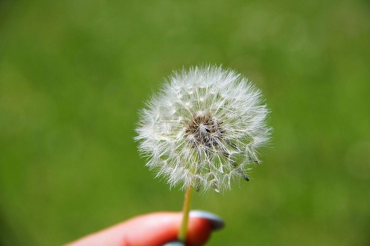 you have a free wish 🍀 Pusteblume Dandelion One Wish Wish Taking Photos EyeEm Gallery Photography Taking Photos Beautiful Nature Enjoy The Moment And Don't Forget LifeLoveLaugh