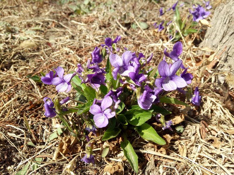Crocus Flower Head Flower Sunlight Field Purple Petal High Angle View Close-up Blooming