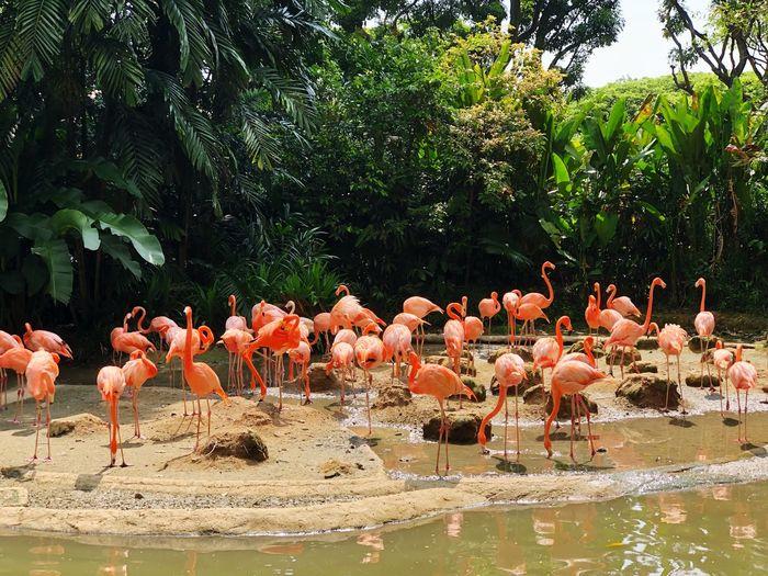 Greater Flamingoes Zoo Singapore Water Animal Themes Animal Group Of Animals Animal Wildlife Vertebrate Flamingo Bird Plant Tree Nature Lake Beauty In Nature Day Large Group Of Animals Outdoors Flock Of Birds Waterfront