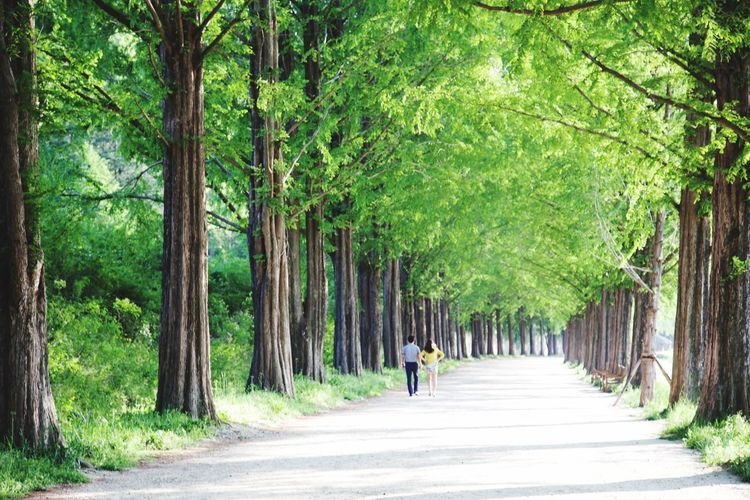 EOS 6D EF 24-105mm Landscape Tree Metasequoia Road Nature Damyang Walking Green Color Land Nature Forest Diminishing Perspective Tree The Way Forward