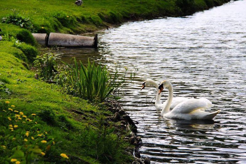 Nature, swan